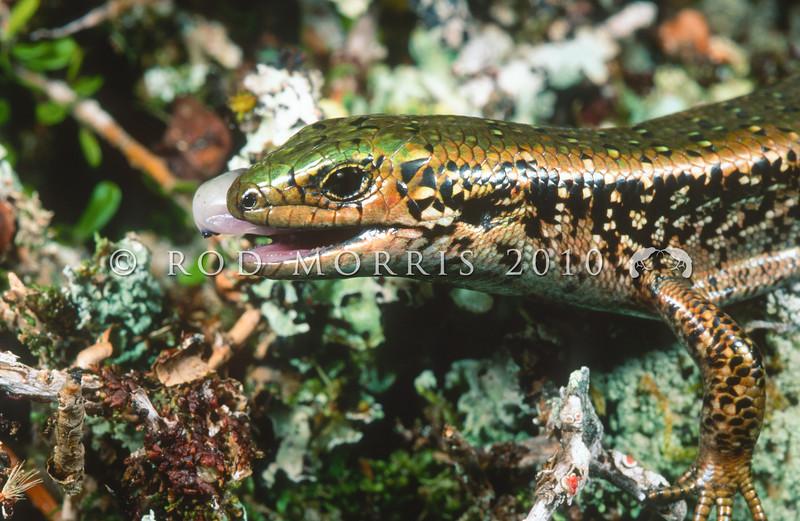 11003-64013 Green skink (Oligosoma chloronoton) from Southland.  A robust, heavily flecked, green-backed female eating fruit of porcupine shrub (Melicytus alpinus). Hokonui Hills *