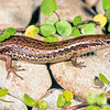 11003-69502  Crenulate skink (Oligosoma robinsoni) found in the central North Island, and at several sites in Westland, including Granity and Hokitika. Occurs in rough grassland, shrubland, and above high-tide on cobble beaches. One of seven undescribed taxa within this species complex. Granity *