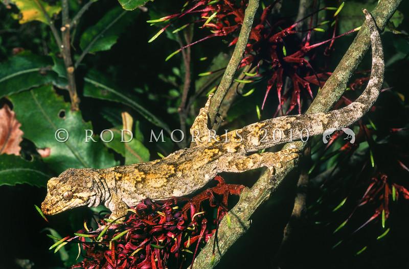 11003-18113 Ngahere gecko (Mokopirirakau 'southern North Island') male on Rewarewa flower. Rimutaka Range *