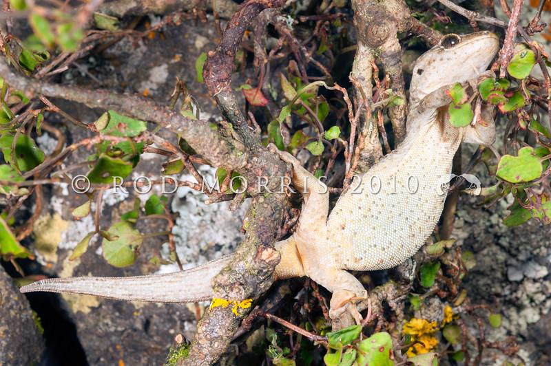 DSC_3748  Korero gecko (Woodworthia 'Otago large' - eastern form) underside of gravid female climbing in muehlenbekia. Otago Peninsula *