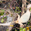 DSC_3748  Korero gecko (Woodworthia 'Otago large' - eastern form) underside of gravid female climbing in muehlenbekia. Otago Peninsula *
