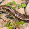 11003-69511  Crenulate skink (Oligosoma robinsoni) found in the central North Island, and at several sites in Westland, including Granity and Hokitika. Occurs in rough grassland, shrubland, and above high-tide on cobble beaches. One of seven undescribed taxa within this species complex. Granity *