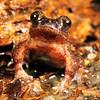 11003-02024 Hochstetter's frog (Leiopelma hochstetteri) 'Northland' adult male,  Warkworth *