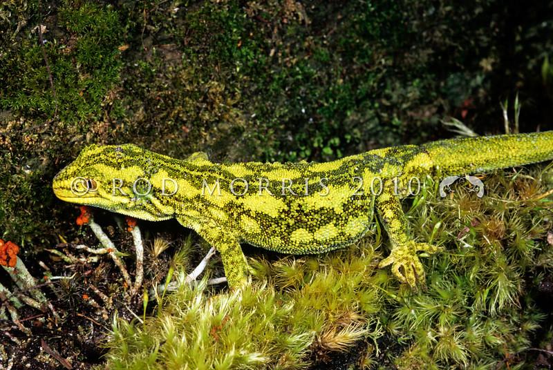 11003-12116  West Coast green gecko (Naultinus tuberculatus)  female on mossy ground *