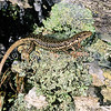 11003-59101  Grand skink (Oligosoma grande) 'eastern form'. A large handsome, fast moving and alert species of the upland tussock grasslands of the eastern South Island. This species is now nationally endangered. Pastoral burning of native vegetation, and heavy predation by mustelids and cats has greatly reduced its range and population. Macraes Flat *