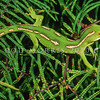 11003-06003  Aupouri green gecko (Naultinus 'North Cape') adult female on fern *