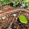 11003-86501  Ornate skink (Oligosoma aff. ornatum 'Three Kings') one of three lizard species confined to the Three Kings. Snout long and pointed. Lives in forest litter or under rocks and logs, or in dense herbage in kanuka and puka forest and shrublands. Great Island, Three Kings Group