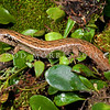 DSC_6571 McGregor's skink (Oligosoma macgregori) once widespread on the North Island mainland, occurs today on a few rat-free offshore islands. Mana Island *