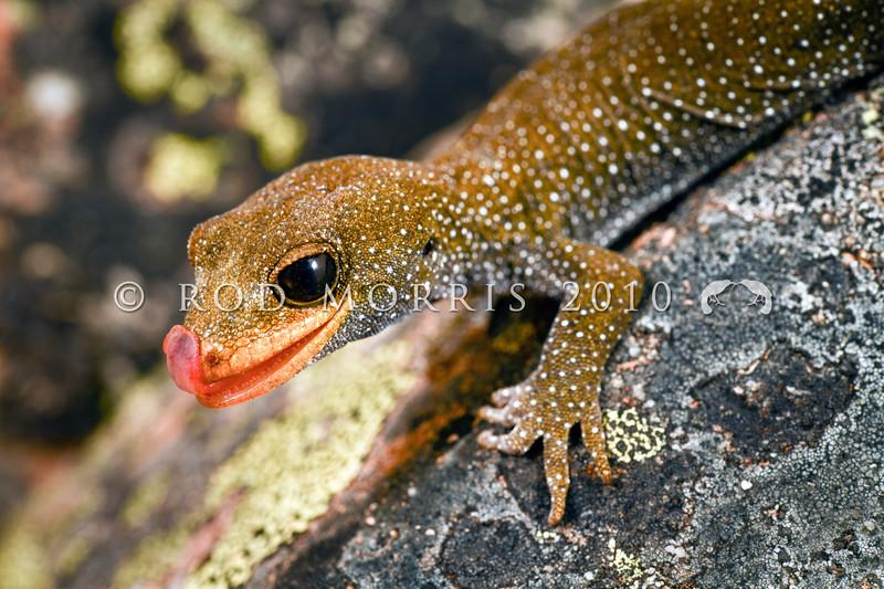 DSC_1216 Hura te ao gecko (Mokopirirakau sp.) head. Young female on rock bluff. Oteake Conservation Park, North Otago *
