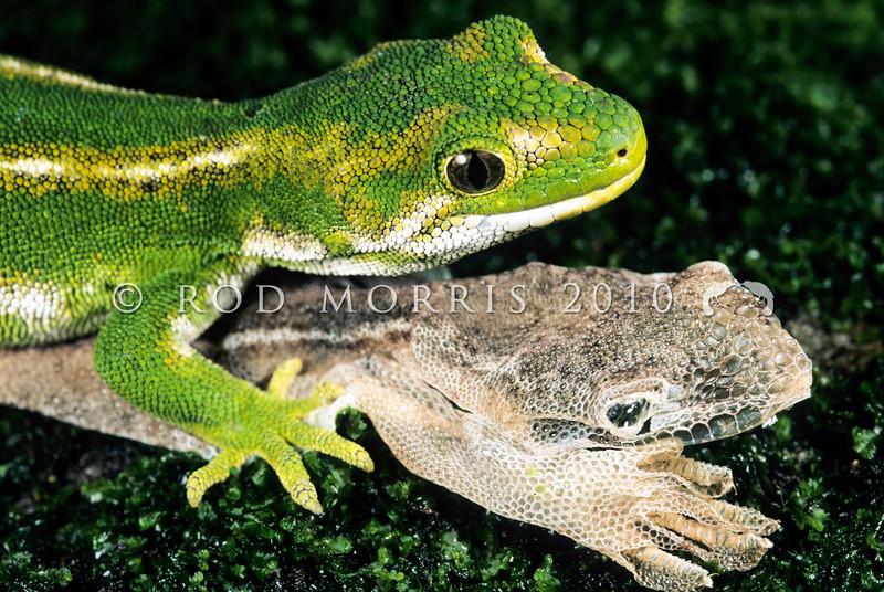 11003-14219 Jewelled gecko (Naultinus gemmeus) female, Otago form with recently shed skin *