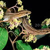 11003-33001 Matapia gecko (Dactylocnemis 'Matapia Island') two striped adults in kumarahou *