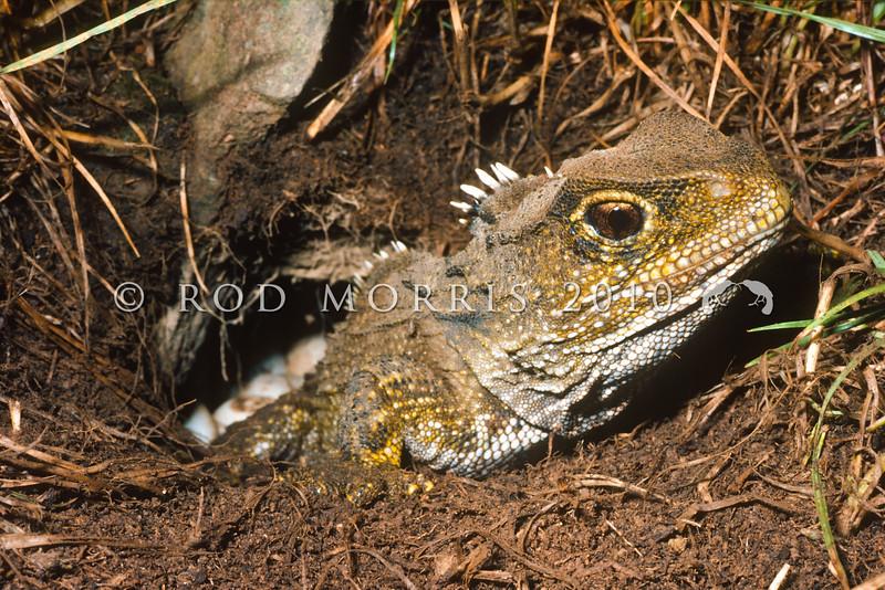 11003-97217 Tuatara (Sphenodon punctatus) female laying eggs in nest chamber on the forest floor. Stephens Island *