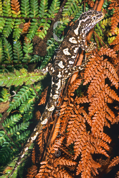 11002-17206  Hybrid Jewelled x Forest gecko (Naultinus gemmeus x Mokopirirakau granulatus) sterile male bred under captive conditions *