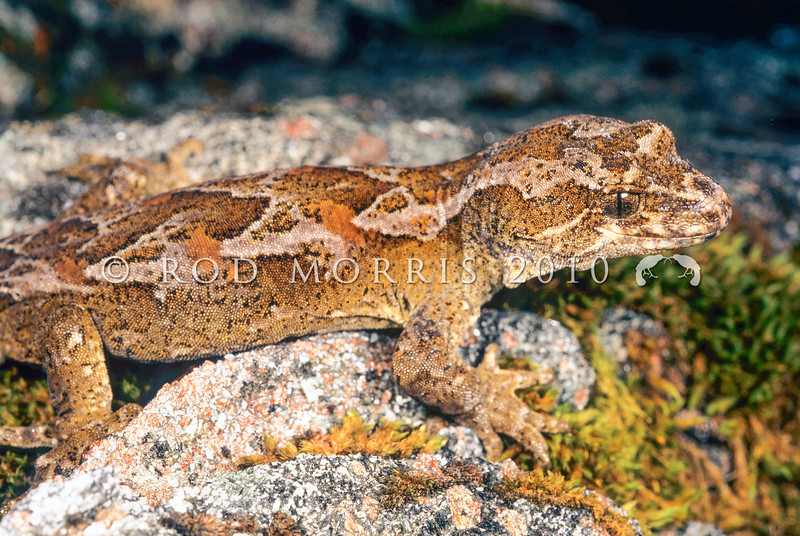 11003-22201 Cascade gecko (Mokopirirakau 'Cascades') male *