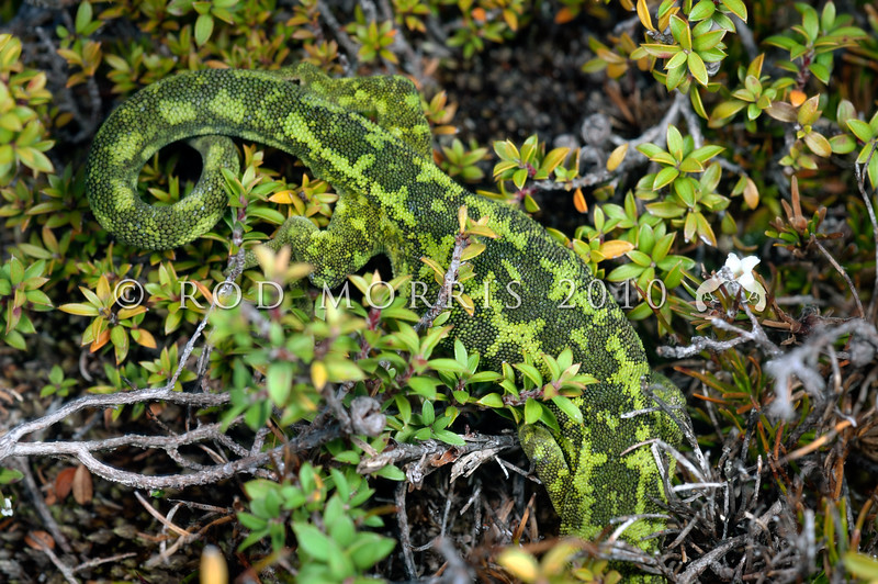 DSC_9099  West Coast green gecko (Naultinus tuberculatus) one of our least known green geckos. This female is partially concealed in dwarf manuka on the Denniston Plateau *