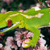 11003-070061 Northland green gecko (Naultinus grayii) detail, head and tongue of male on pink manuka. Kaimaumau Swamp *