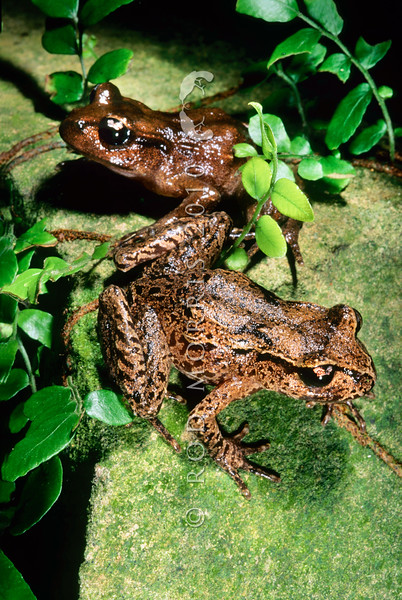 11003-01002 Hamilton's frog (Leiopelma hamiltoni) pair in forest. Maud Island *