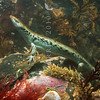 11003-55015 Egg-laying skink (Oligosoma suteri) female hiding underwater in rock pool. *
