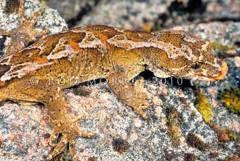 11003-22204 Cascade gecko (Mokopirirakau 'Cascades') male *