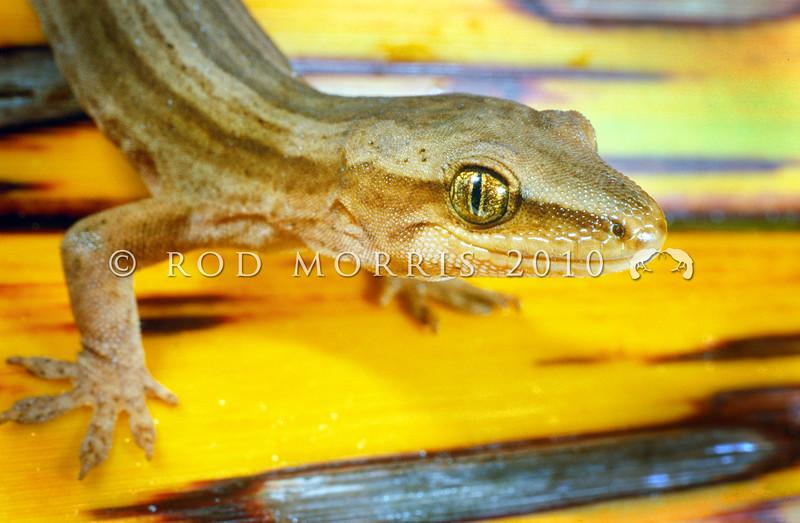11003-50014 Goldstripe gecko (Woodworthia chrysosiretica) male in flax. Mana Island *