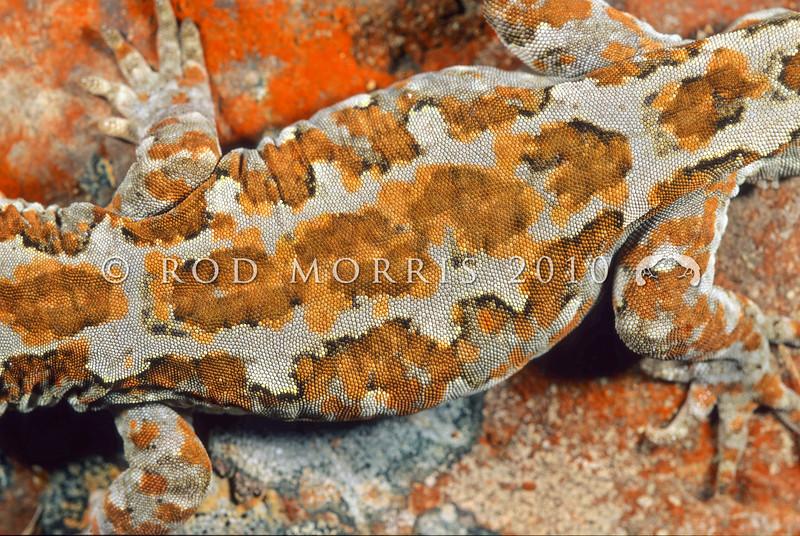 11003-25019  Takitimu gecko (Mokopirirakau cryptozoicus) detail of pattern on back