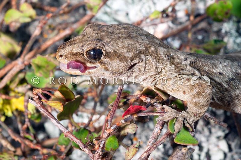 DSC_3736  Korero gecko (Woodworthia 'Otago large' - eastern form) head of gravid female in muehlenbekia, showing tongue colour. Otago Peninsula *