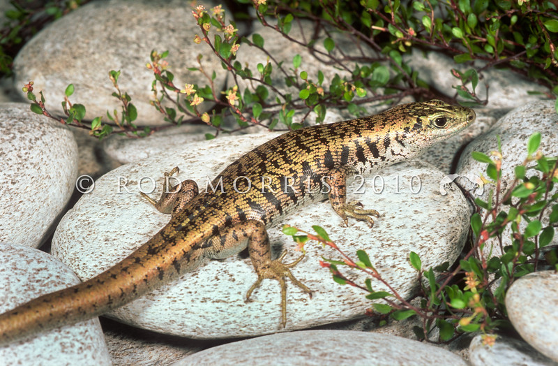 11003-60010  Scree skink (Oligosoma waimatense) a large species inhabiting screes and dry, rocky riverbeds from inland Marlborough, through Canterbury down to North Otago. Molesworth, Inland Marlborough *