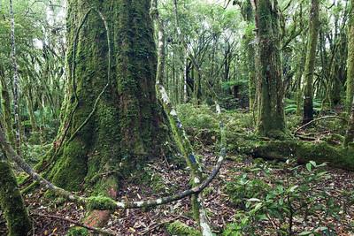 Halls totara tree trunk, Hauhungaroa Range, Pureora Forest Park, Waikato King Country