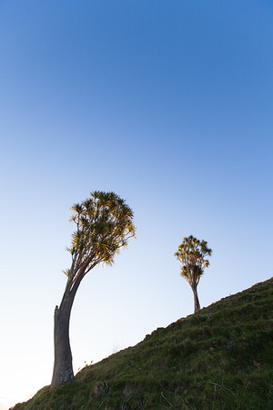 Two cabbage trees on hillside, East Cape