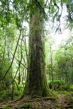 Halls totara tree trunk, Hauhungaroa Range, Pureora Forest Park, Waikato King Country