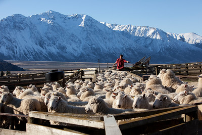 High country farmer Chas Todhunter working in his stockyards, Glenfalloch Station, Rakaia Valley , NZ,MR,PR