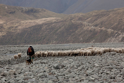 Mustering, Rakaia riverbed,Lake Heron Station, Canterbury, NZ (Model Released)