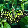 17005-40001 Green spotted triangle (Graphium agamemnon ligatum) on ficus. Wau Valley, New Guinea *