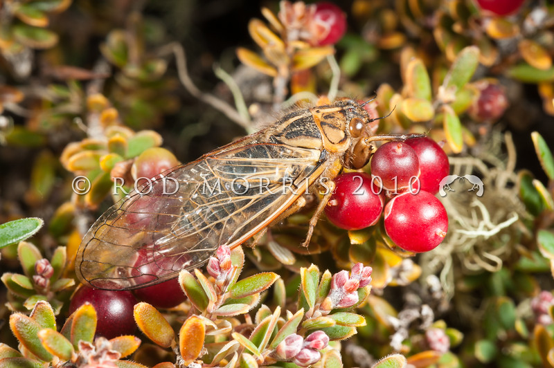 DSC_3004 Tussock cicada (Kikihia angusta) characteristic pale yellow-brown male on mountain heath. The smallest of the 'grass and scrub cicadas'. Rock and Pillar Range