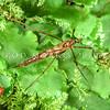 11005-50717 Cranefly or matua waeroa (Leptotarsus sp.) semiapterous female (reduced wings), on liverwort. Lake Kaniere, Westland
