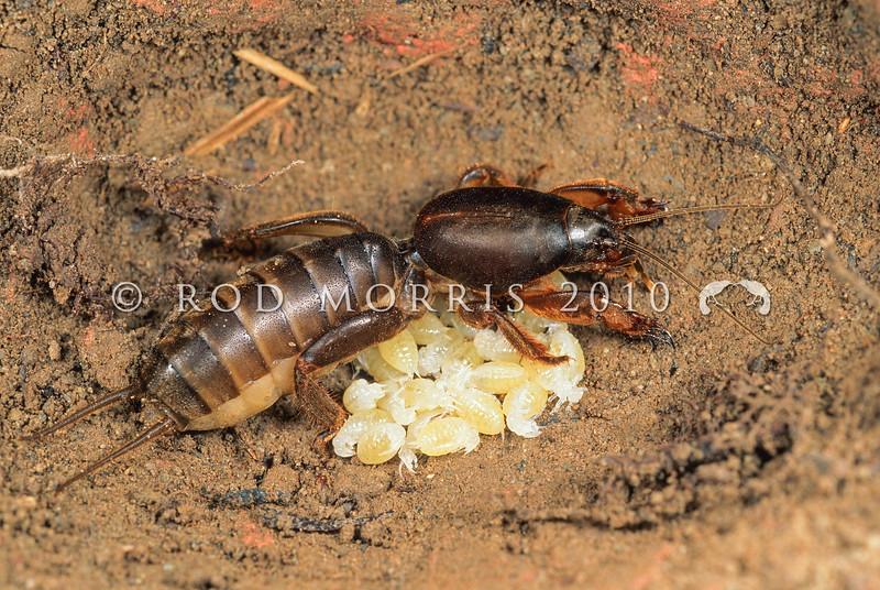 11005-26901  Mole cricket (Triamescaptor aotea) female in underground nursery tending her young. Wairarapa