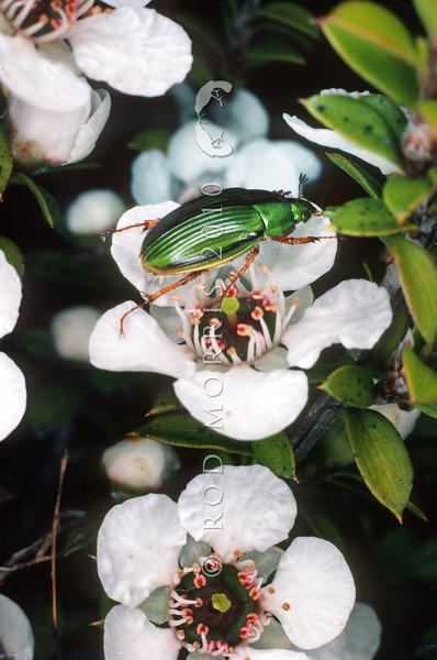11005 -70103 Manuka chafer (Pyronota frestiva) adult foraging on manuka petals. Dunedin *