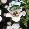 11005 -70103 Manuka chafer (Pyronota frestiva) adult foraging on manuka. Dunedin *