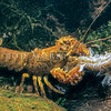 11005-12715 Southern freshwater crayfish, or koura  (Paranephrops zealandicus 'south island southeast') scavenging on a dead Smeagol galaxias (Galaxias gollumoides)