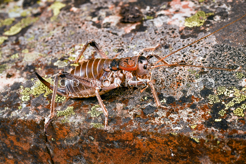 DSC_1352  Giant scree weta (Deinacrida connectens) female on lichen covered rock in scree. Hawkdun Range *