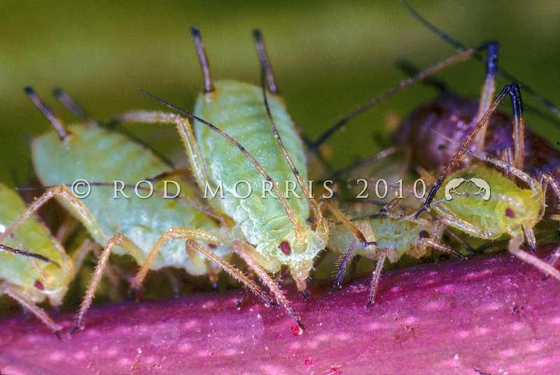 11005-35501  Rose aphid (Macrosiphum rosae) *