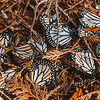 11005-40324 Monarch butterfly (Danaus plexippus) dead adults killed by frost while overwintering on a cypress tree in public gardens. Timaru *