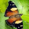 DSC_5487 Yellow admiral, or kahu kowhai (Vanessa itea) butterfly resting on Ribbonwood leaves (Hoheria sexstylosa). Dunedin *