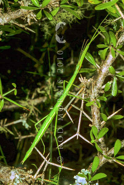 11005-24828  Smooth stick insect (Clitarchus hookeri) green female on matagouri. Possibly the most common stick insect in NZ. Some populations contain only females and reproduce by parthenogenesis.