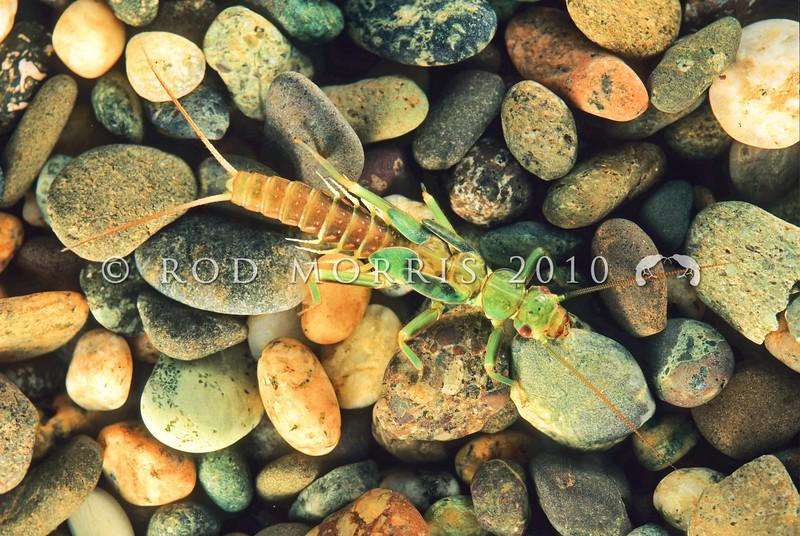 11005-23504 Green stonefly (Stenoperla prasina) nymph