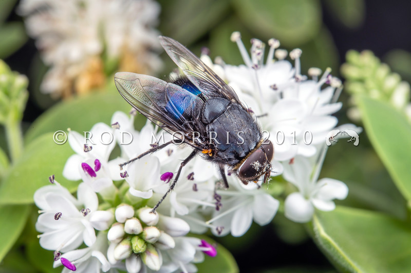 DSC_0205 NZ Blue blowfly, or rango pango (Calliphora quadrimaculata) male on Hebe amplexicaulis flowers. This endemic blowfly has been geographically and genetically isolated in New Zealand, and is probably a living example of something near to the ancestral stock of present-day Calliphora species. Indeed it may form the stock for future speciation - on Campbell Island and the Auckland Islands it already differs in having the abdomen a metallic blue-green rather than blue-violet of the mainland form. The attractive metallic sheen also distinguishes it from the 'dusted' blue-grey abdomen of the introduced European bluebottle (Calliphora vicina) which was accidentally introduced here in the 1880's. Mount Somers, South Canerbury *