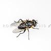 DSC_0984 Flower fly captured feeding on Hebe salicifolia, Frasers Gully, Dunedin *