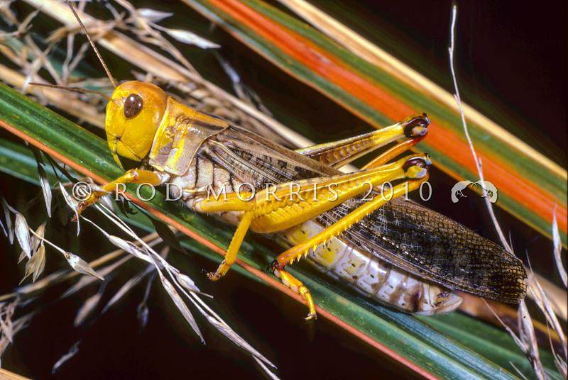 11005-25514 Locust (Locusta migratoria) adult on tussock. Auckland *