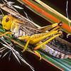 11005-25514 Locust (Locusta migratoria) adult on tussock. Auckland