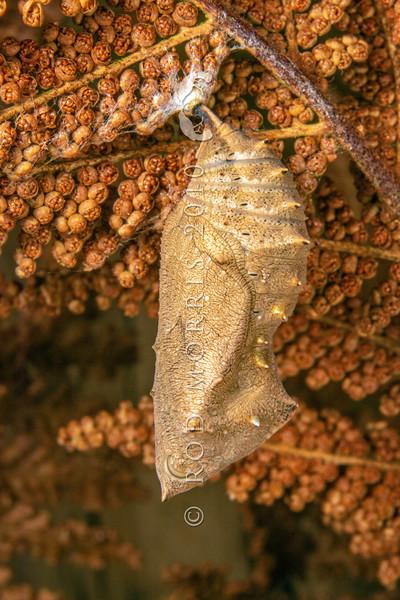 DSC_4 268 Red Admiral butterfly (Vanessa gonerilla gonerilla) pupa hanging on fern frond. Portobello, Otago Peninsula *